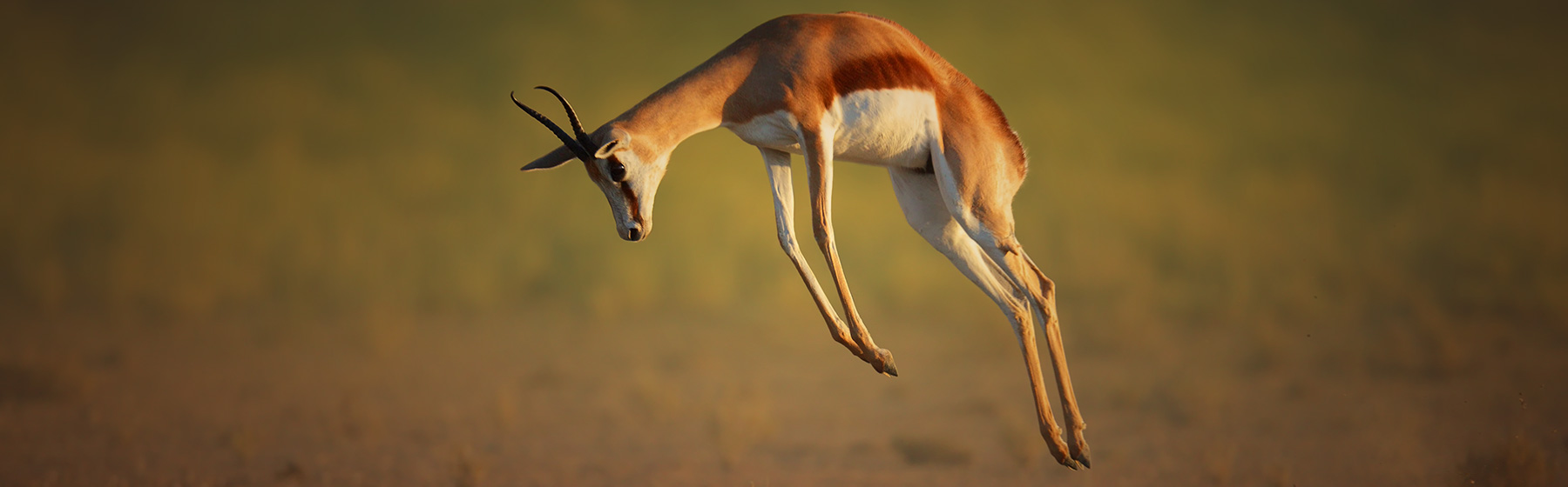 springbok_wildlifeinsure_slide2